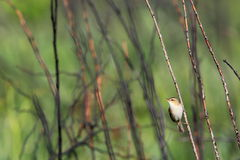 Black-browed Reed Warbler Royalty Free Stock Image