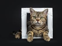 Brown and black tabby American Shorthair cat kitten lying through a white photo frame isolated on white background looking at came. Black with brown American stock images