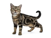 Brown and black tabby American Shorthair cat kitten standing side ways isolated on white background looking at camera