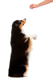 Black and Brown Australian Shepard. An adorable black and brown australian shepard begging for a treat from its owner Stock Photography