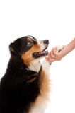Black and Brown Australian Shepard. An adorable black and brown australian shepard shaking its paw with its owner against white background Stock Photo