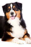 Black and Brown Australian Shepard. A cheerful black and brown australian shepard lying down obediently against a white background Stock Photography