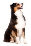Black and Brown Australian Shepard. An adorable black and brown australian shepard sits obediently against white background Stock Images
