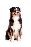 Black and Brown Australian Shepard. A cheerful black and brown australian shepard sits obediently against a white background Stock Image