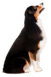Black and Brown Australian Shepard. An adorable black and brown australian shepard sits obediently against a white background Stock Image