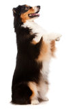 Black and Brown Australian Shepard. An adorable black and brown australian shepard standing on his hind legs against white background Royalty Free Stock Photography