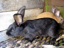 Black and brown big nice rabbits Royalty Free Stock Photos