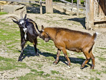 Black and a brown billy-goat fighting Stock Photography
