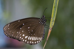 Black and brown butterfly royalty free stock image