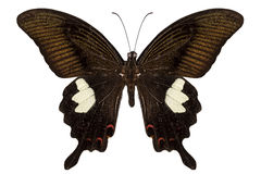 Black and brown butterfly species Papilio nephelus Royalty Free Stock Photography