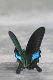 Black and brown butterfly species Papilio nephelus Royalty Free Stock Images