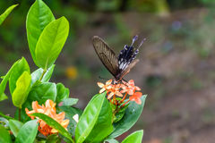 Black and Brown Butterfly. Taken at Coconut Island Resort, Phuket Royalty Free Stock Photography