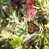 Black and brown butterlfy with white spots. Monarch butterfly. Close up of monarch butterfly on a bush with pink flowers royalty free stock photo