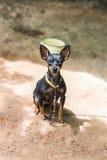Black and brown chihuahua dog Royalty Free Stock Photos