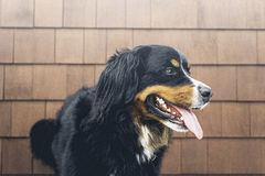 Black and Brown Coat Dog Standing Near Brown Brick Wall Royalty Free Stock Photo