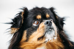 Black And Brown Colors Pekingese Pekinese Peke Dog Royalty Free Stock Photo