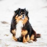 Black And Brown Colors Pekingese Pekinese Peke Dog Royalty Free Stock Images