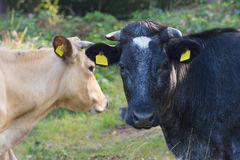 Black and brown cow in nature Stock Photography