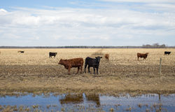 Black and brown cows in a corn field Stock Images