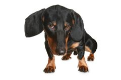 Black and brown dachshund puppy Stock Photo
