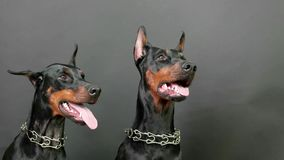 Black and brown doberman pinschers sitting and breathing hard on dark background after plying stock video footage