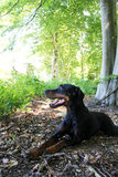 Black and Brown Doberman. Relaxed doberman in the great outdoors Royalty Free Stock Images