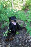 Black and Brown Doberman. Relaxed doberman in the great outdoors Stock Image