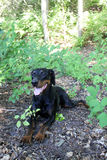 Black and Brown Doberman. Relaxed doberman in the great outdoors Stock Images