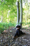 Black and Brown Doberman. Relaxed doberman in the great outdoors Royalty Free Stock Photos