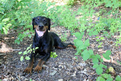 Black and Brown Doberman. Relaxed doberman in the great outdoors Stock Photo