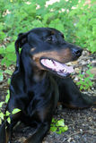Black and Brown Doberman. Relaxed doberman in the great outdoors Royalty Free Stock Image