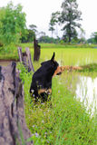 Black brown dog find some food. In the rice field Stock Photo