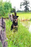 Black brown dog find some food. In the rice field Royalty Free Stock Image