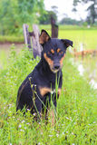 Black brown dog find some food. In the rice field Stock Image