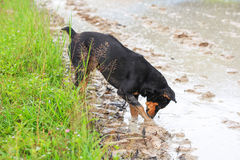 Black brown dog find some food. In the rice field Stock Photography