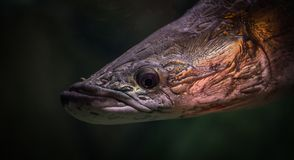 Black and Brown Fish Royalty Free Stock Photography