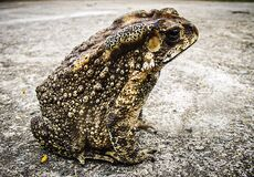 Black and Brown Frog Sitting on White Concrete Floor Stock Image
