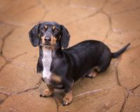 Black and tan doxie looking up from terra cotta flagstone making. Black and brown full body dachshund on wet flagstones looking up at camera royalty free stock photos