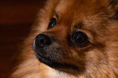 Black and brown fur color . cute pomeranian dog . close up young puppy stock images