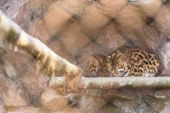 Black and brown fur Wildcat sleep on the ground in the cage in Padmaja Naidu Himalayan Zoological Park at Darjeeling, India Royalty Free Stock Photography