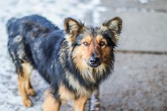 Black-brown guard dog looking into camera outdoor. Yard dog looks at the camera. Doggy emotions and look royalty free stock images