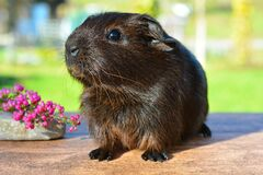 Black Brown Guinea Pig Royalty Free Stock Photos