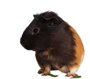 Black brown guinea pig isolated on white. Background with clipping path Royalty Free Stock Photo
