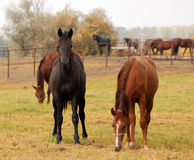 Black and brown horse Royalty Free Stock Photos