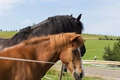 Black and brown horse on a paddock in hot summer day of july. In south germany rural countryside near city of munich and stuttgart stock image