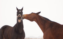 Black and brown horse in the paddock playing. On the gray sky background stock photography