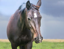 Black brown  horse portrait over stormy sky Stock Photos
