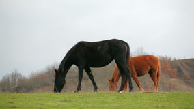 Black And Brown Horses Grazing In Field stock video footage