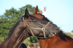 Black and brown horses nuzzling each other Royalty Free Stock Photography