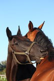 Black and brown horses nuzzling each other Royalty Free Stock Photo